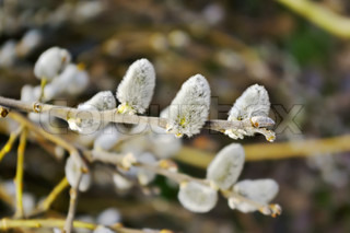 Blossoming of a willow plant in springtime