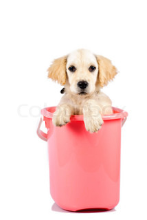 Golden retriever puppy in bucket isolated on white background