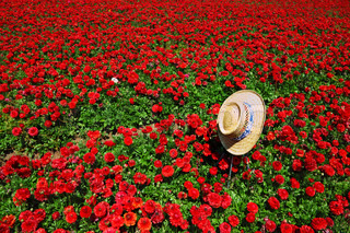 Elegant straw hat with a white and blue ribbon on the field of red flowers