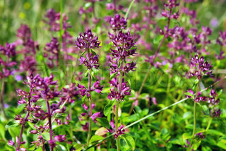 Thymus - healing herb and condiment on the nature background