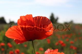 Poppy felt med en enkelt blomst i fokus