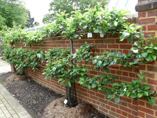 Image of 'espalier, topiary, surrounded by a wall'