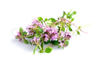 fresh thyme herb flowers isolated on white
