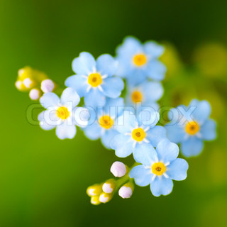 Meadow plant background: blue little flowers close up and green grass. Shallow DOF