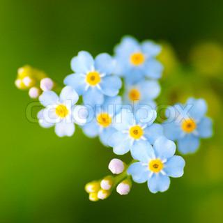 Meadow plante baggrund: blå små blomster tæt op og grønt græs.