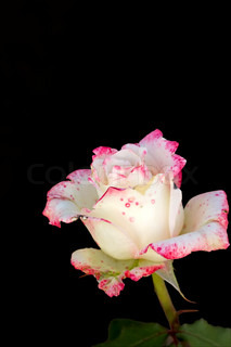 Beautiful rose bud, cream with a red border around the edges of petals
