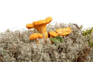 Autumn chanterelles in gray moss on white background