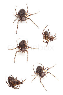 Big brown spiders on a whtie background