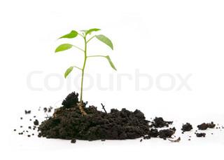 grøn plante i jorden på en hvid baggrund