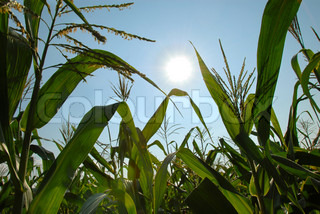 green corn plants over blue sky and sun
