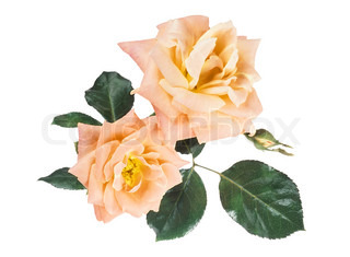 beautiful roses isolated on white background