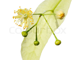 Linden flowers on a white background, isolated