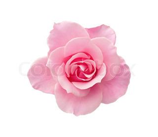 smukke lyserøde rose isoleret på hvid baggrund