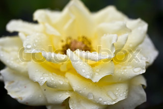 beautiful white rose with dew drops close up