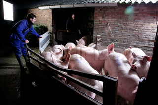 pigs on  taillift transport to slaughterhouse