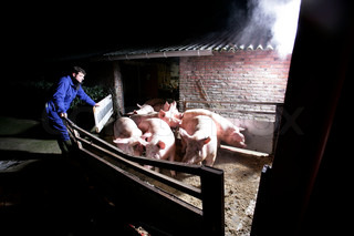 Pigs on transport to slaughterhouse