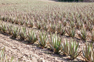 Aloe Vera: plantation of medicinal aloe vera in the farm