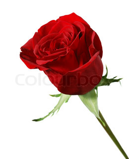 Rose. A blossoming branch of a rose with brightly red bud