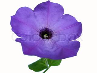 Nærbillede af petunia blomst isoleret på hvidt