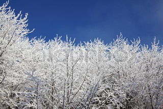 Snow-covered tops of the trees against the bright blue sky