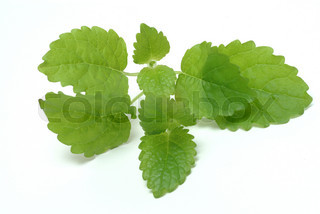 Melissa, lemon balm, Melissa officinalis, medicinal herb and spice