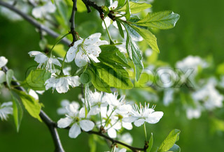 white flowers of blossoming tree
