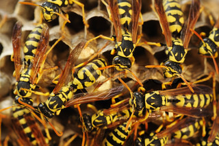 Wasps in the nest among the dry grass in Israel