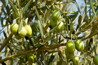 Green olives on a tree