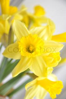 Billede af 'påske lilje, påskelilje, påske'
