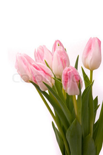 Pink tulipaner på en hvid baggrund