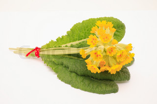 Flowers of cowslip, Primula Veris, medicinal plant and natural remedies