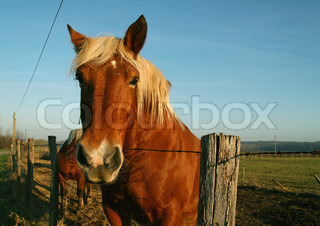 ©Yves Regaldi/AltoPress/Maxppp ; Palomino horse, head over fence, looking at camera