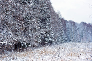 winter forest under white snow, Moscow, Russia