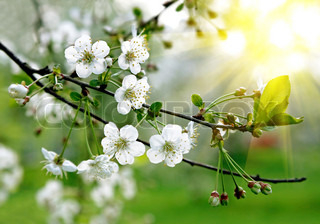 branch of a blossoming tree with beautiful white flowers