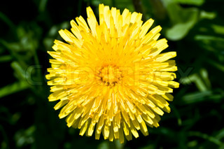 Yellow sunny dandelion flower close up