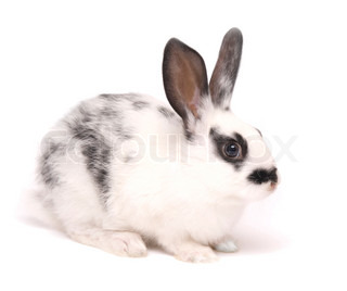 cute rabbit isolated on white
