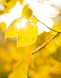 Autumn Leaves in the sunshine day