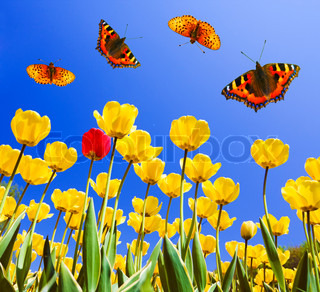 Butterflies on yellow tulips in spring