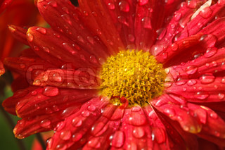 Gerbera flower close up with water droplets on petals