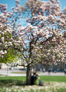 spring magnolia tree in full bloom. young romantic couple