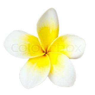 Hvid tropisk blomst frangipani closeup isoleret på hvid baggrund