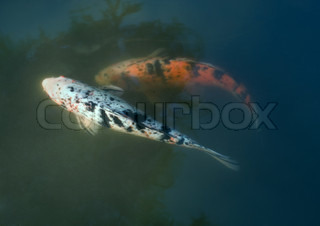 Image of 'koi, swimming, fish'
