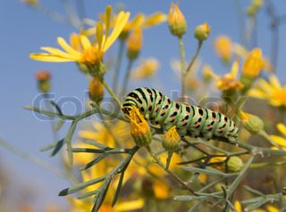 Bright spotted green caterpillar on the yellow flower