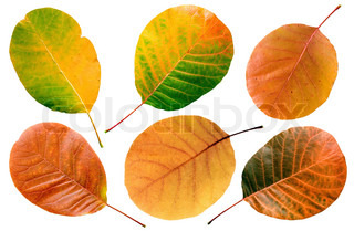 Aspen fall leafs set on white background (isolated).