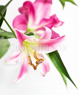 Lyserød lilje blomster.