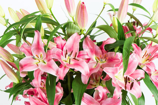 Pink lily flowers isolated on white