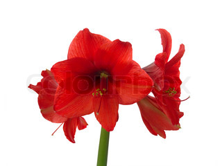 Nice blooming red amaryllis on a white background