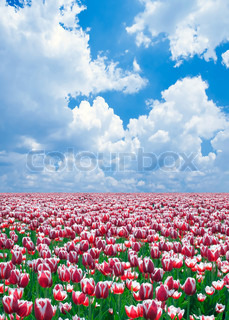 Meadow of tulips with blue sky background.