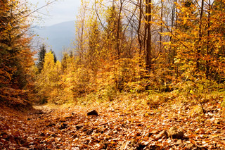 Beautiful autumn forest in the Carpathian mountain. Ukraine
