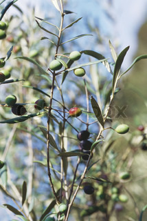 ©Laurence Mouton/AltoPress/Maxppp ; Olive tree in fruit, close-up
